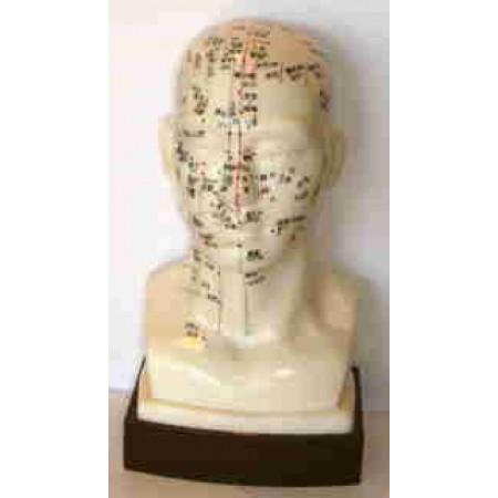 Modelo anatómico - Cabeça