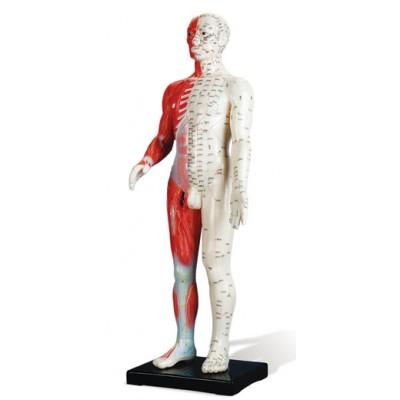 Modelo anatómico - 60cm