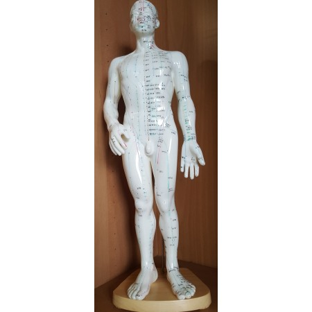 Modelo anatómico M - 50 cm